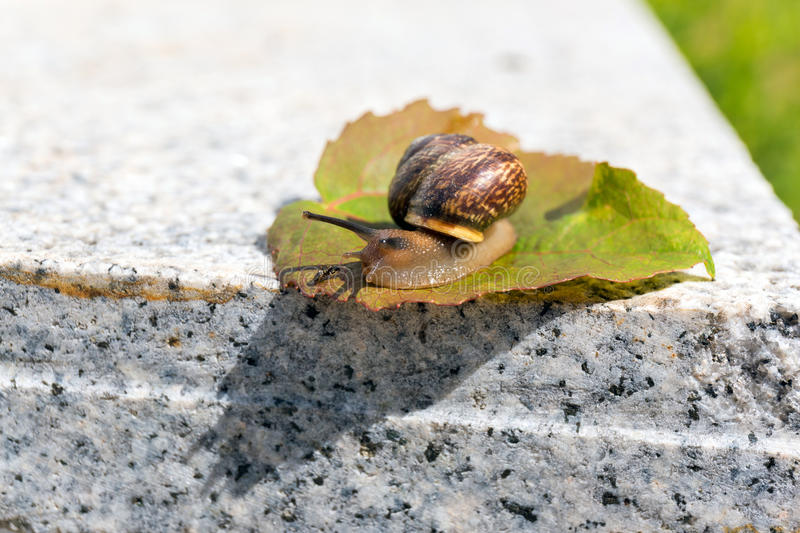 Crawling snail meeting with ant on green leaf on warm stone. A close up picture of a crawling snail and green leaf on warm stone in summer stock photo