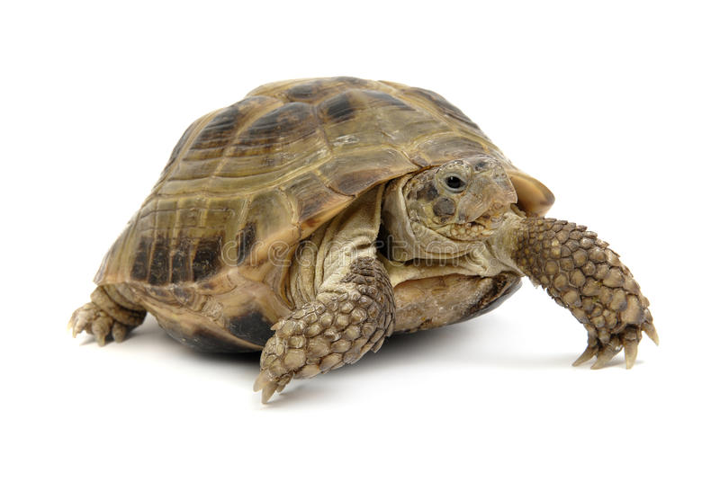 Crawling tortoise on a white background royalty free stock images
