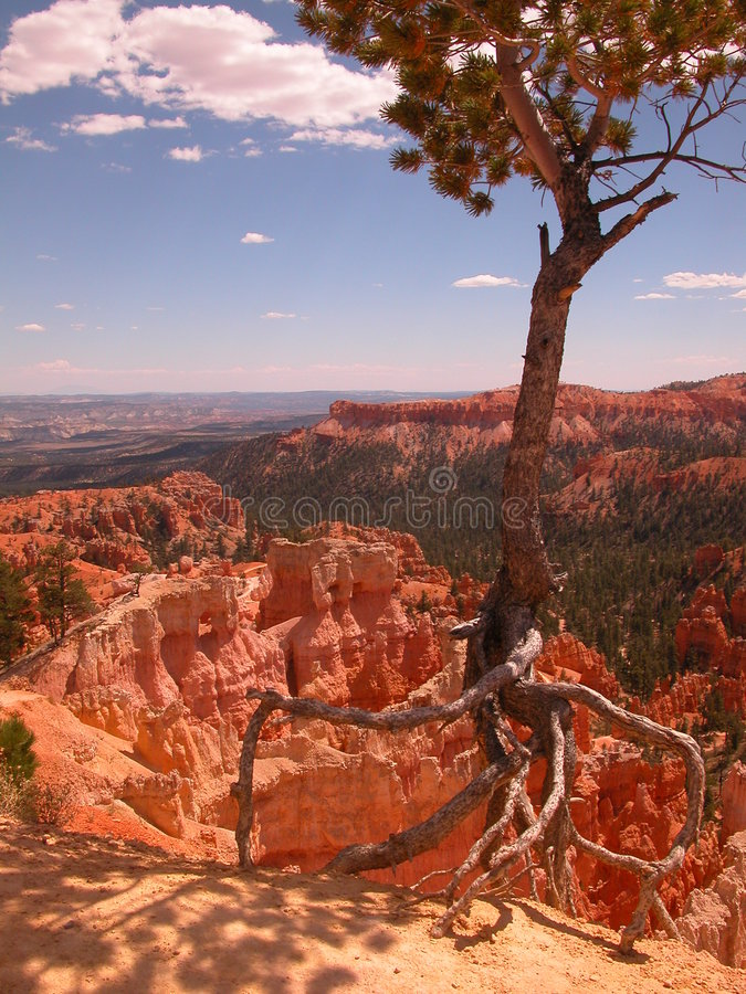 Download Crawling Tree stock photo. Image of tree, juniper, crawling - 148706