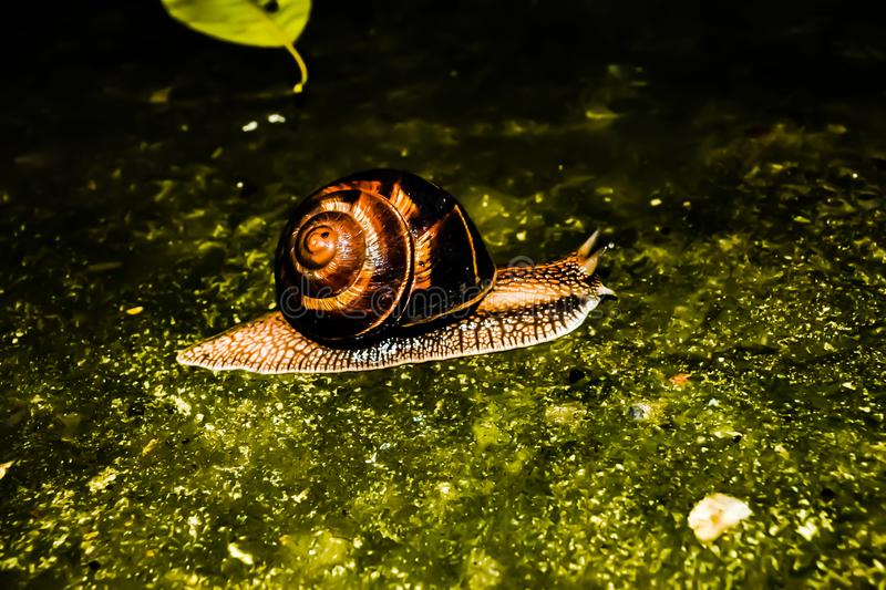 Crawling wet snail. royalty free stock images