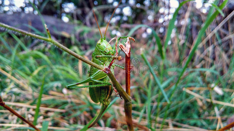 Crawly кузнечик стоковое фото rf