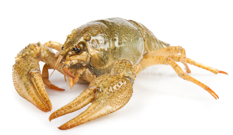 Download Crayfish stock photo. Image of east, orange, lobster - 17664088