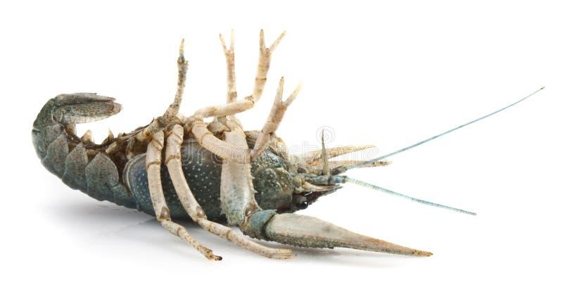 Download Crayfish stock photo. Image of food, crayfish, isolated - 17664096