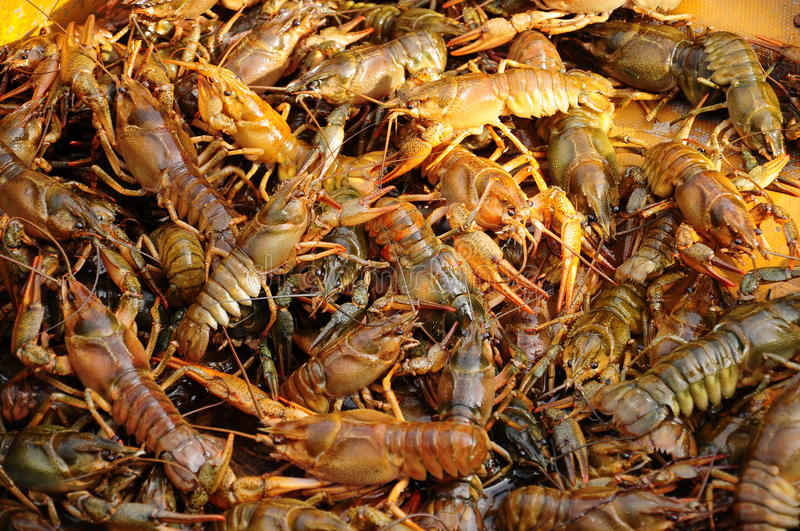 Crayfish. Alive crayfishes as a background stock image