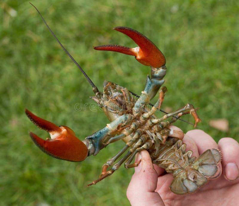 crayfish obraz royalty free