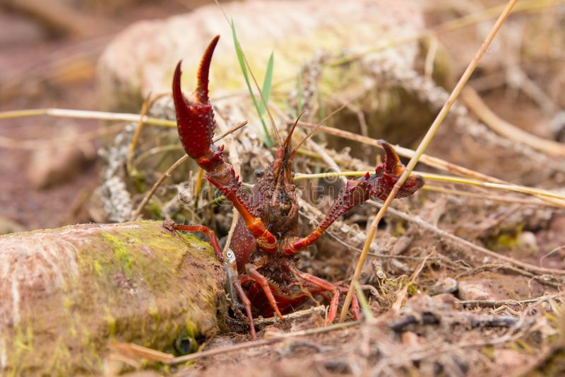 Crayfish crustacean stock image