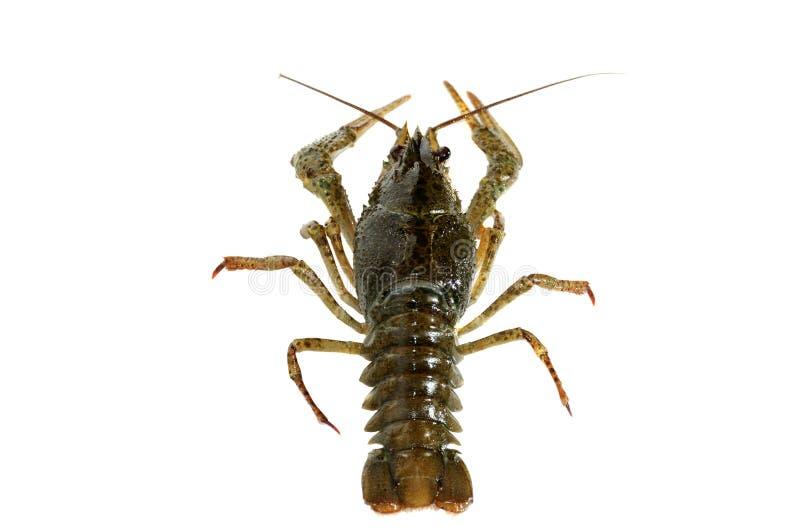 Crayfish. stock image