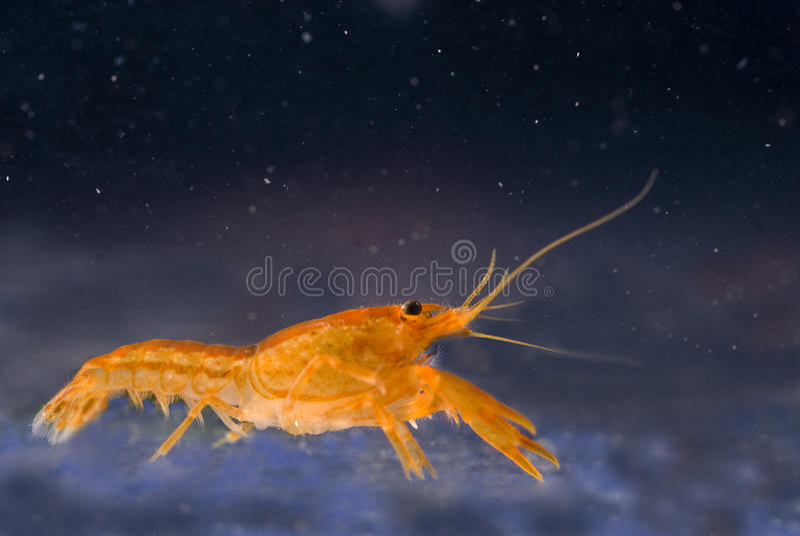 crayfish pomarańcze karłowata meksykańska zdjęcia royalty free