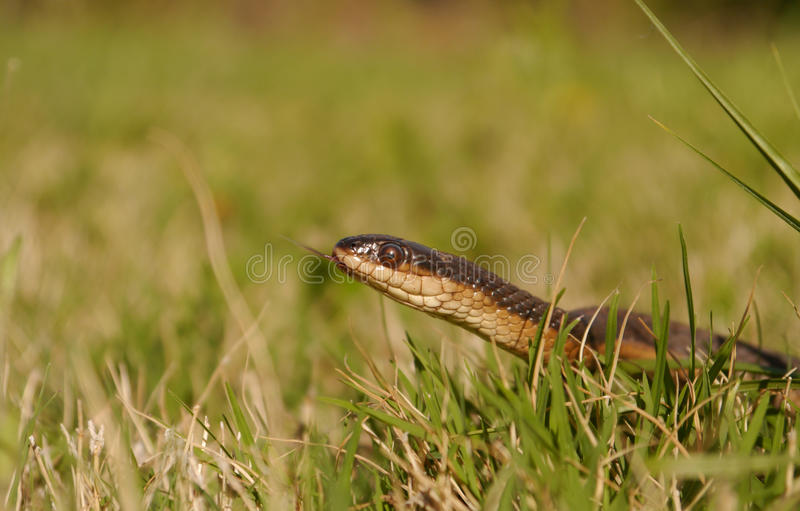 Crayfish Snake stock photos