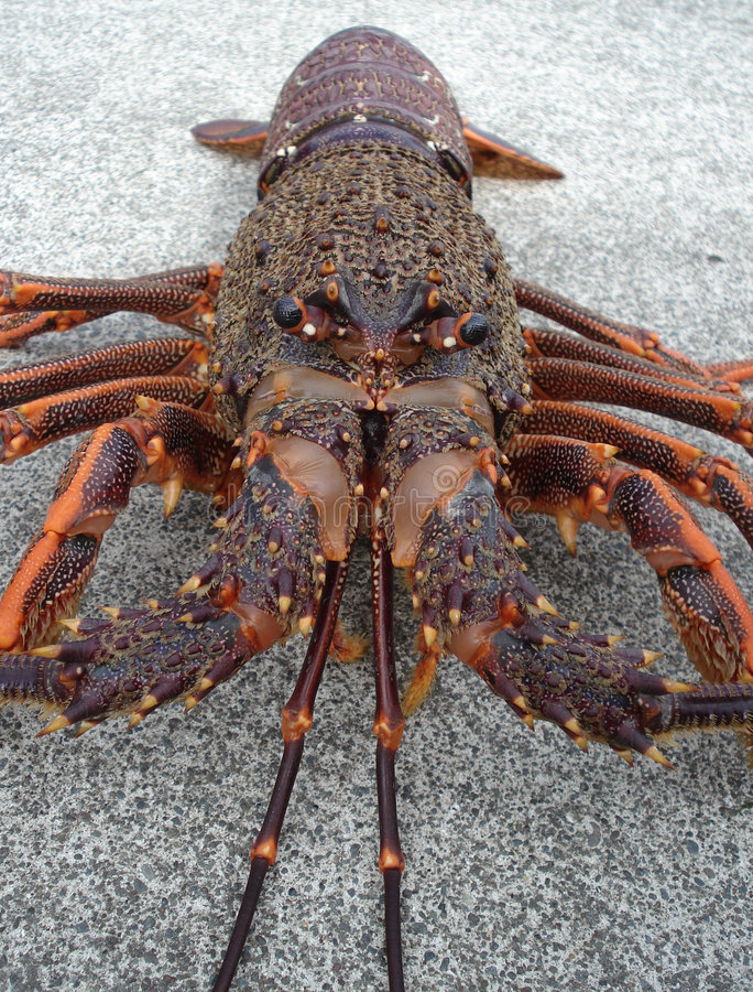 Free Crayfish Spiny Rock Lobster Royalty Free Stock Photos - 2248148