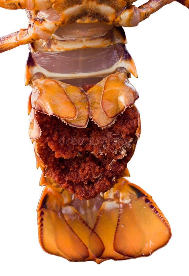 Crayfish tail stock image