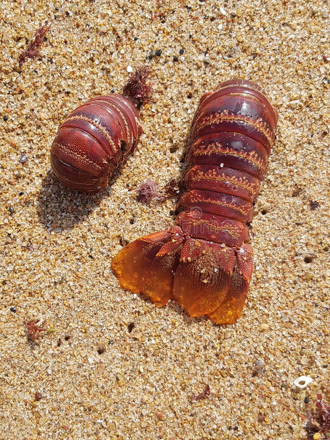 CRAYFISH TAIL royalty free stock photography