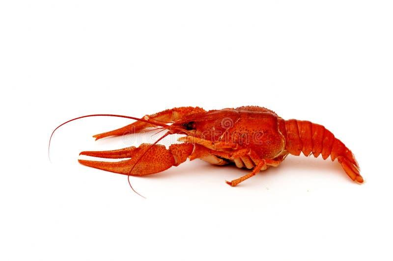 Crayfish on white. Red crayfish isolated on a white background royalty free stock photo