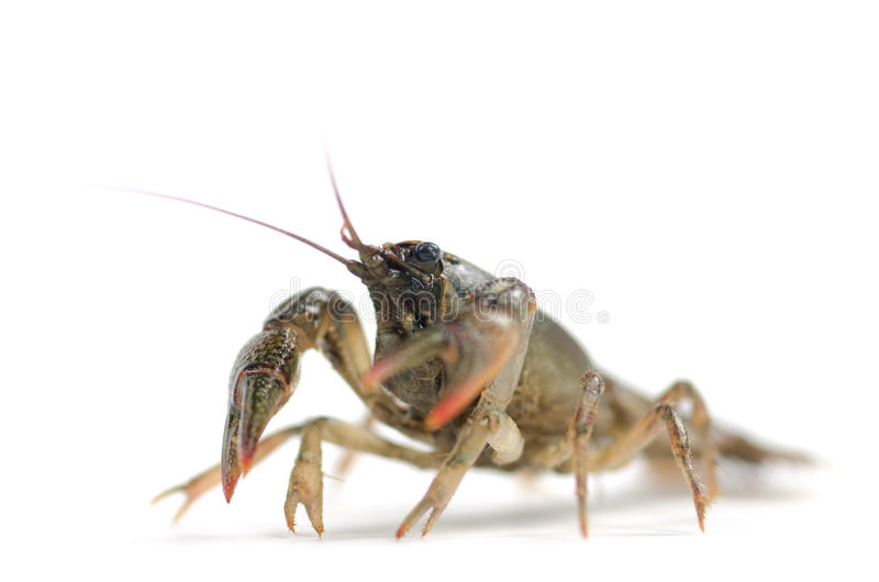 Crayfish on white background. Full body of a crayfish on white background stock photos