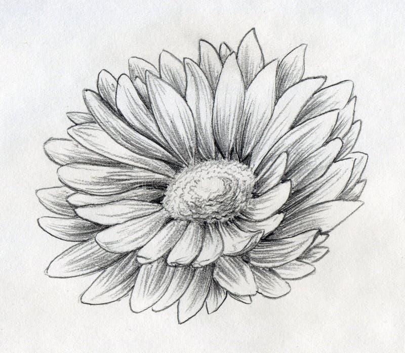 Croquis de crayon de fleur de marguerite illustration de vecteur