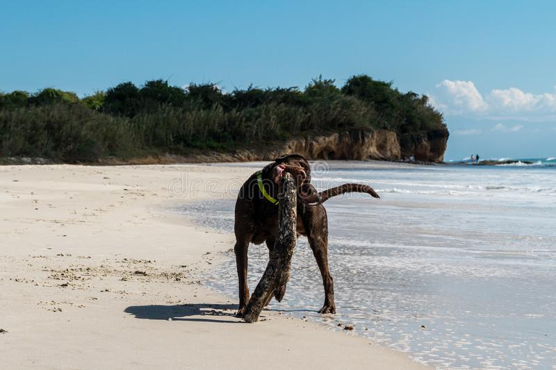 Brown labrador playing on the beach with a wooden stick on a sunny summer day. Crazy brown lab playing with his wooden stick toy at the beach royalty free stock photos