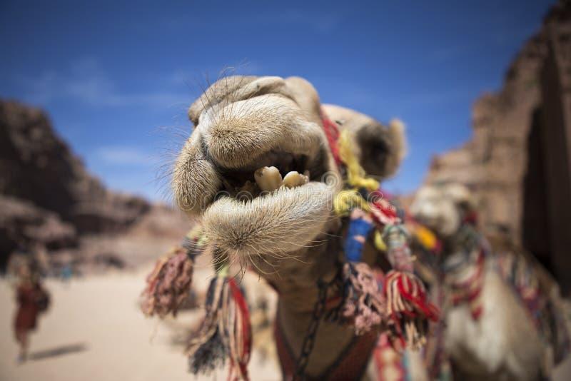 Crazy camel stock photography
