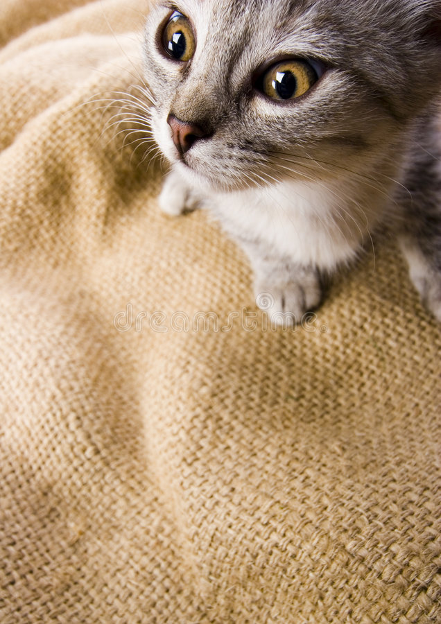 Crazy cat. Cat - the small furry animal with four legs and a tail; people often keep cats as pets stock image
