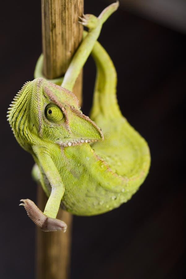 Free Crazy Chameleon Royalty Free Stock Photos - 5070608