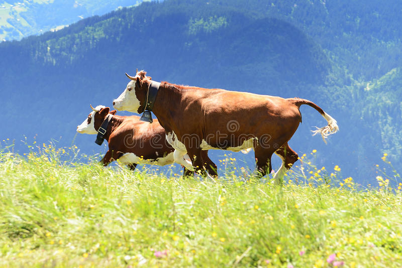 Crazy Cow Is Jumping In The Mountain Royalty Free Stock Image