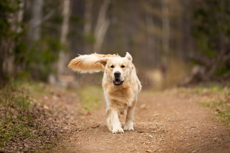 Crazy, cute and funny dog breed golden retriever running in the forest and has fun at sunset. Portrait of Crazy, cute and happy dog breed golden retriever stock photography