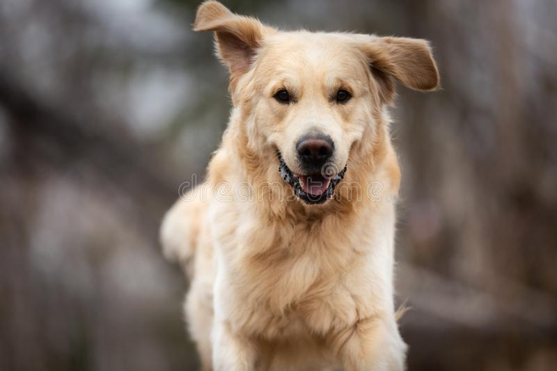 Crazy, cute and happy dog breed golden retriever running in the forest and has fun at sunset. Close-up Portrait of crazy, cute and happy dog breed golden royalty free stock images