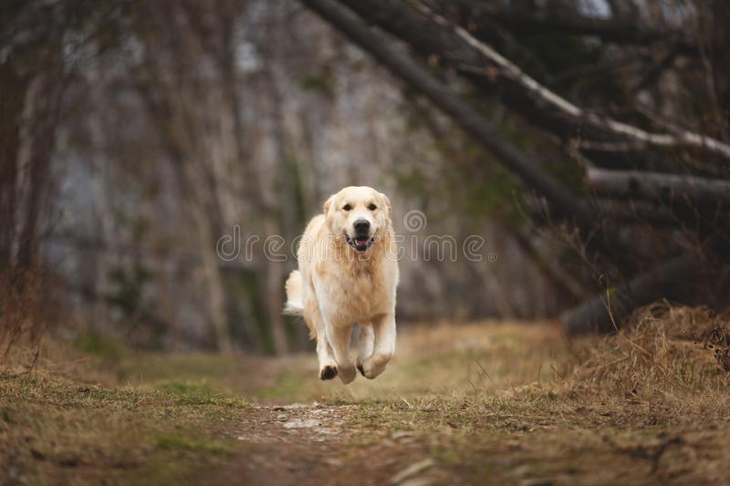 Crazy, cute and happy dog breed golden retriever running in the forest and has fun at sunset. Portrait of Crazy, cute and happy dog breed golden retriever stock photos