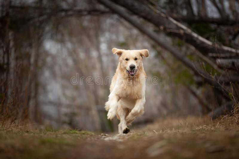 Crazy, cute and happy dog breed golden retriever running in the forest and has fun at sunset. Portrait of Crazy, cute and happy dog breed golden retriever stock photo