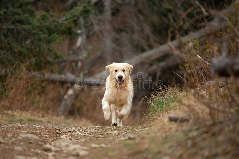 Crazy, cute and happy dog breed golden retriever running in the forest and has fun at sunset. Portrait of Crazy, cute and happy dog breed golden retriever stock photography