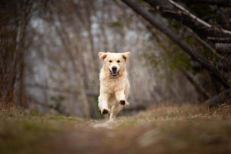 Crazy, cute and happy dog breed golden retriever running in the forest and has fun at sunset. Portrait of Crazy, cute and happy dog breed golden retriever stock images