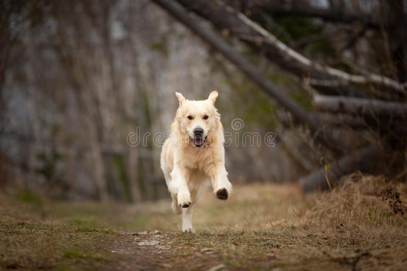 Crazy, cute and happy dog breed golden retriever running in the forest and has fun at sunset. Portrait of Crazy, cute and happy dog breed golden retriever royalty free stock photography
