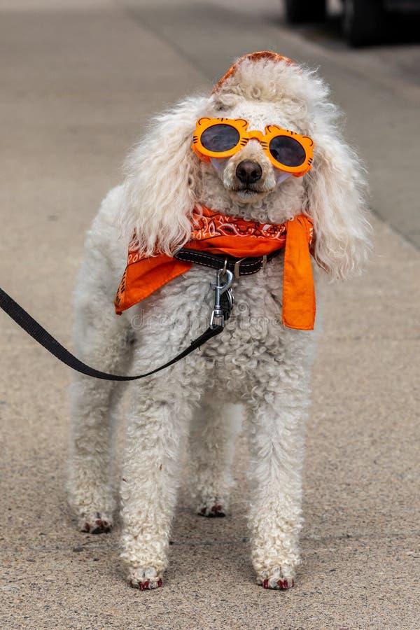 Free Crazy Dog With Sunglasses Stock Photo - 159120470