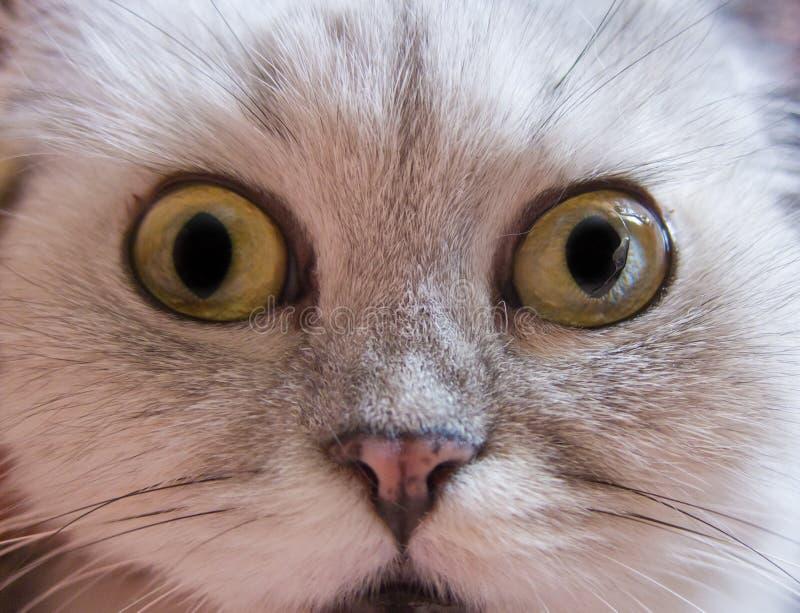 Crazy domestic cat. Strange domestic animal chinchilla cat stock photos