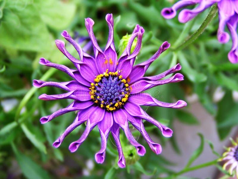 Crazy flower. Crazy original violet flower royalty free stock image