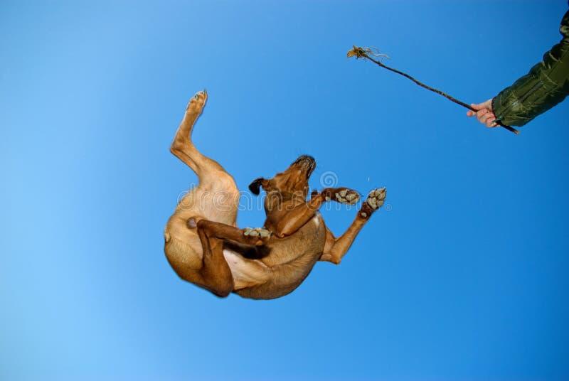 Crazy flying dog stock image