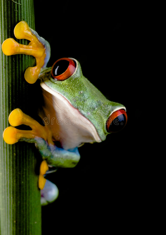 Crazy frog. Frog - small animal with smooth skin and long legs that are used for jumping. Frogs live in or near water. / The Agalychnis callidryas, commonly know stock image