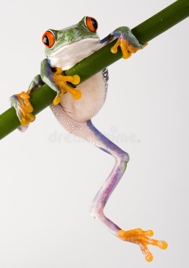 Crazy frog royalty free stock image