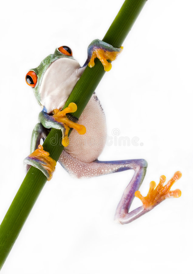 Crazy frog royalty free stock images