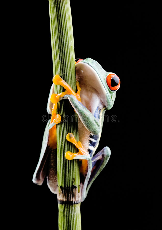 Crazy frog. Frog - small animal with smooth skin and long legs that are used for jumping. Frogs live in or near water. / The Agalychnis callidryas, commonly know royalty free stock image