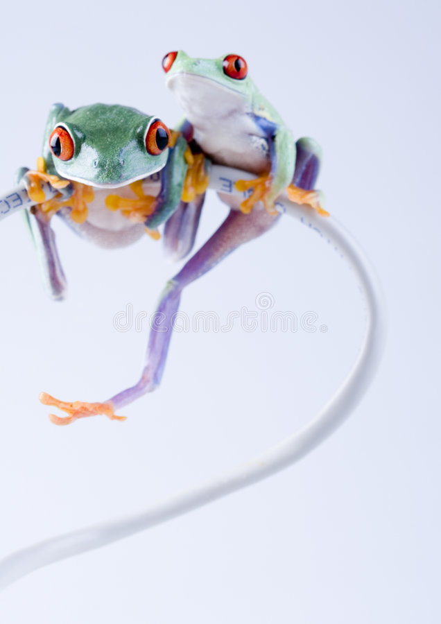 Crazy frogs. Frog - small animal with smooth skin and long legs that are used for jumping. Frogs live in or near water. / The Agalychnis callidryas, commonly stock photos