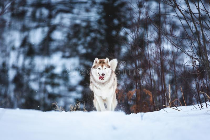 Crazy and happy beige and white dog breed siberian husky jumping on the snow path in the forest royalty free stock photos