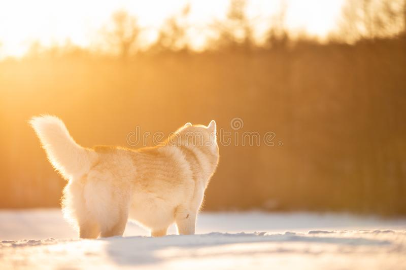 Crazy, happy and cute beige and white dog breed siberian husky standing on the snow in the winter field at golden sunset royalty free stock photos