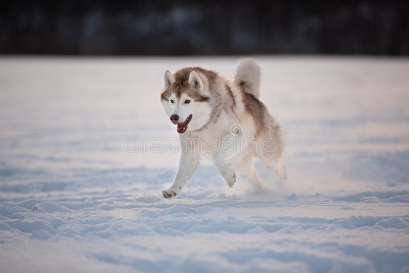 Crazy, happy and cute beige and white dog breed siberian husky running on the snow path in the field royalty free stock photos