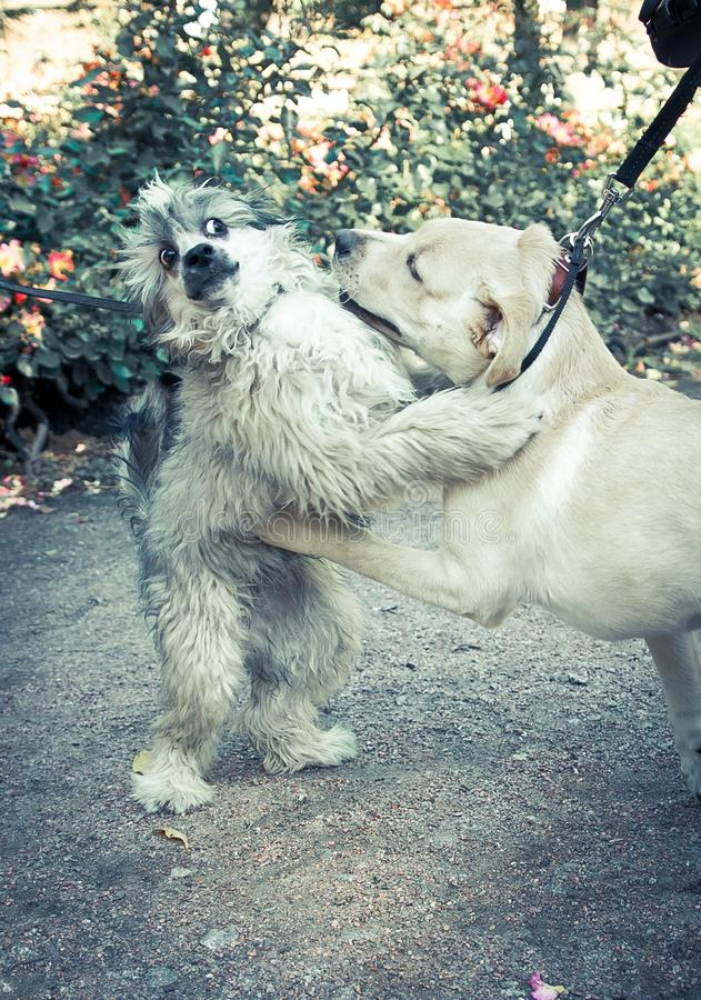 Crazy hugs between two dogs. One of which is Labrador puppy royalty free stock photo