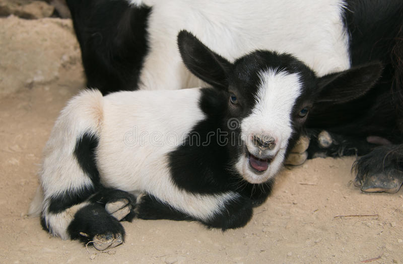 Crazy portrait of little goat royalty free stock photos