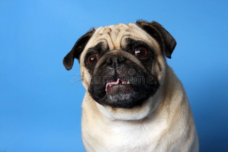 Crazy Pug stock photos