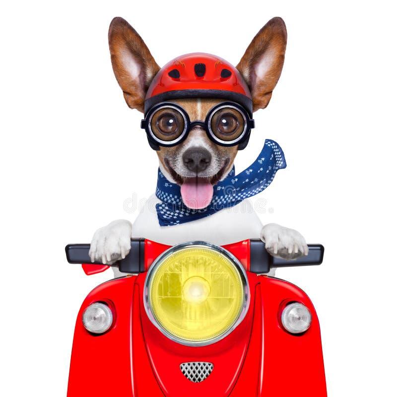 Crazy silly motorbike dog stock photos