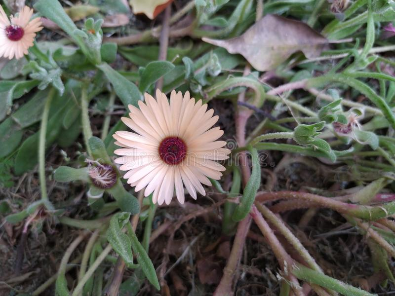 Cream color flower named livingstone daisy. Flower is cream in color and dark brown color in centre and is called livingstone daisy stock photo