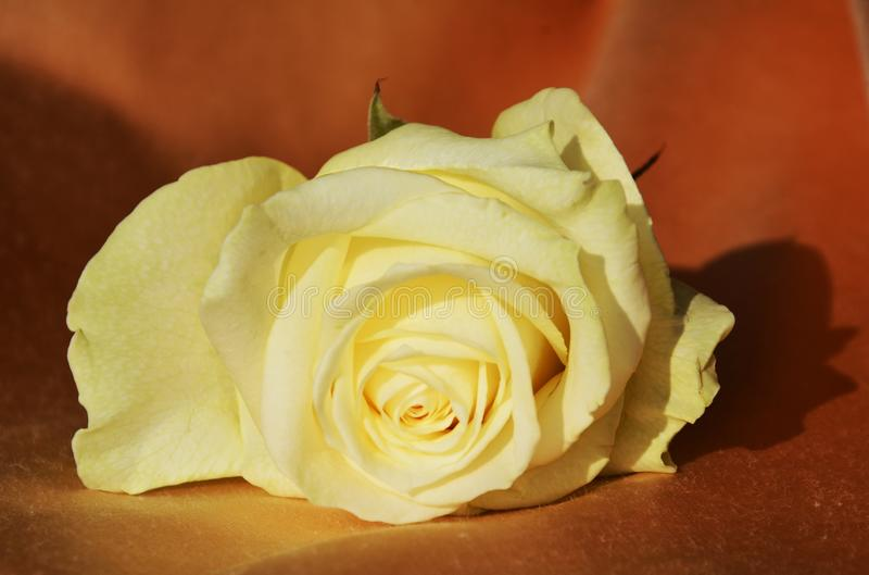 Cream-colored rose royalty free stock photography