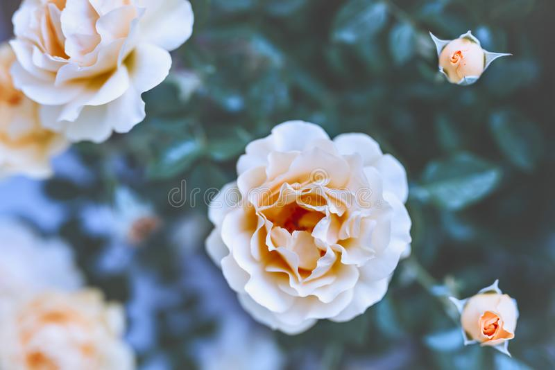 Cream colored roses, soft blur floral artistic background stock photography